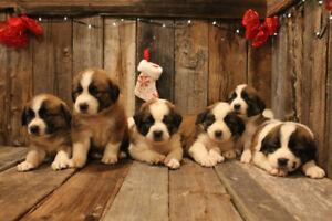 St-Pyrenees puppies
