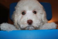 Beautiful Teddy bear Poodle Puppies