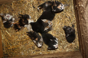 Barn Kittens looking for a home