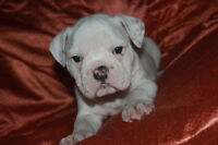 FEMALE OLDE ENGLISH BULLDOGGE PUPPY