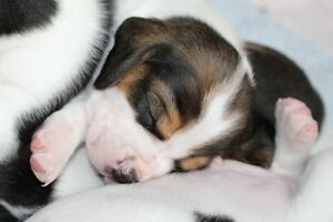Beautiful Beagle Babies
