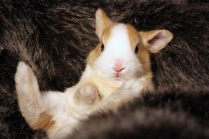 Netherland Dwarf Bunnies!