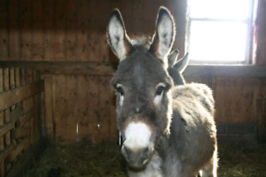 Donkeys for sale/Anes  vendre
