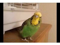 Healthy budgie with cage and extra