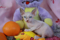 Rex cornish kitten, everything included,registrated CFA