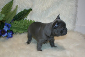 BREATH TAKING C.K.C. REGISTERED FRENCH BULLDOG PUPPIES