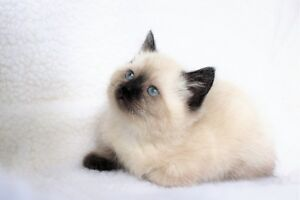 Ragdoll/Siamese kittens are ready for adoption