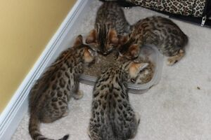 6 Gorgeous exotic tri color purfect bengal beauties!