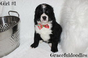 **REDUCED**Beautiful litter F1 Bernedoodles