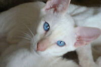REGISTERED CLASSIC RARE CREAM POINT MALE SIAMESE KITTEN - SHOTS