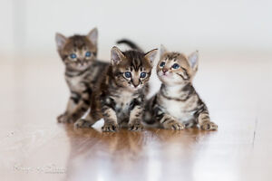 F6 Savannah Kitten available for 2400 with breeding rights!