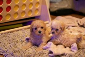 Yorkiepoo pups