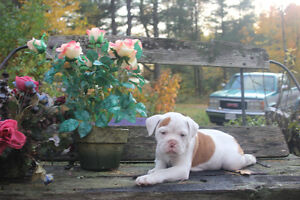 ONLY 1 LITTLE MALE OLDE ENGLISH BULLDOGGE PUPPY LEFT