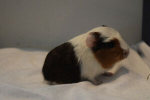 Three young guinea pigs for sale