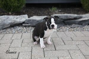 1 Brindle Boston Terrier Male For Sale