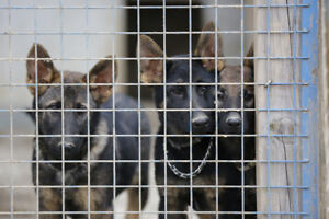 Pure-Bred German Shepherds - Male & Female Available