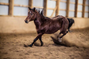 2 1/2 year old quarter horse colt green broke to ride
