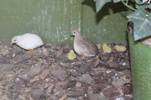 Pure white Button quail