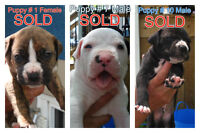 Nitty and Ninas Final Litter. American Bull Dog.Puppies for sale