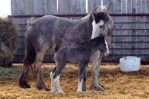 Registered Clydesdale broodmare, foal at side & bred back