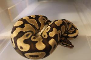 Desert ball python