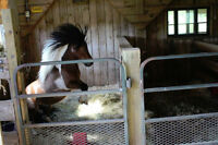 "AMHA/AMHR regd 28"" bay pinto mini stallion for sale"