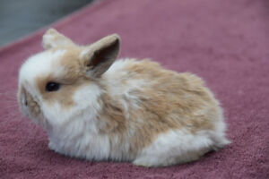Adorable Pure bred Holland Lop baby bunnies for sale