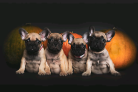 FRENCH BULLDOG! PUPPIES AVAILABLE NOW