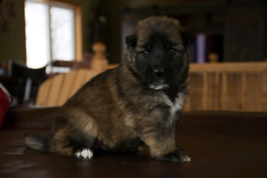 King Shepherd Pups!