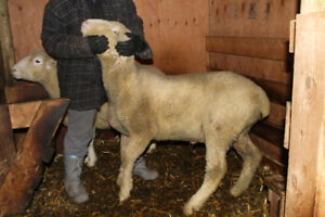 2 Young Dorset Rams Registerd and Proven Producers