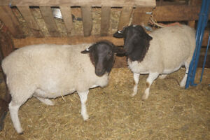 Two nice dorper rams for sale