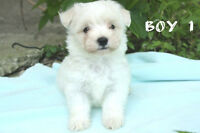 Teacup and Toy Maltese Puppies (Beautiful)