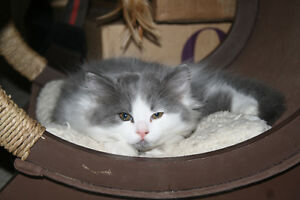 Ragdoll X Persian Kittens Ready for their New Home