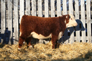 Square-D Herefords