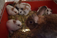 BUNNIES - MINI REX