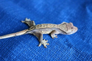Available Crested Geckos