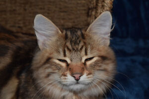 Siberian Forest Cats - *** ONLY 2 Left*** Ready  to  Go