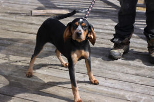 5 month female Bluetick/Beagle  Vaccinated, trained, Microchip