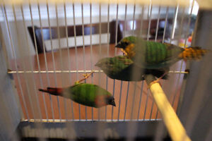 Beautiful Parrot Finch Hybrids for Sale