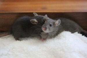 Deux rats mâles