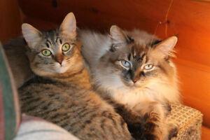 Chats femelles stérilisées