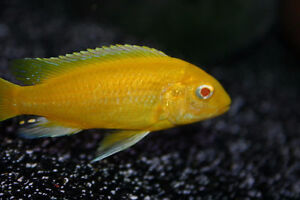 FISH – ALBINO ELECTRIC YELLOW CICHLIDS & FRY