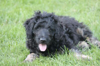1 Beautiful Black and Tan Goldendoodle male left