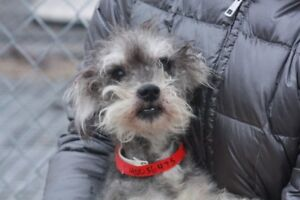 ADOPTABLE SCHNAUZER YORKIE  6LBS OR COMPANY OF 40 VISIT CARES