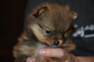 Female Registered Pomeranian Puppies
