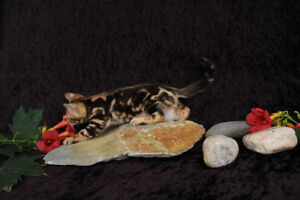 Beautiful Male Mable Bengal kitten for sale
