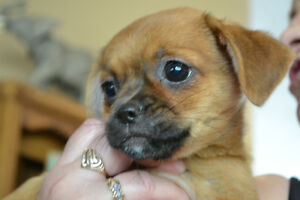 Pekingese and Chihuahua Puppies