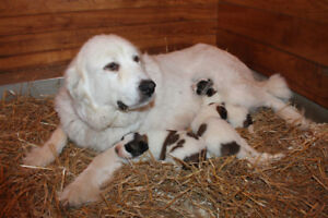 Adorable St-Pyrenees Puppies