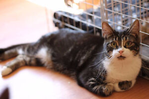 Meet Flash, Handsome Male Tabby Up For Adoption.. Pet Save