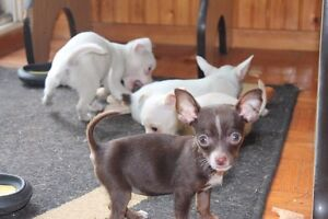 Chihuahua puppies London Ontario image 5